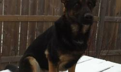 Hello Everyone, My name is Chikaw. I am a very loving female purebred King Shepherd. I am very friendly and love meeting new people. I know how to sit, stay, lay down, come, shake a paw and lay/sit stay. I passed doggie school with flying colours!! So I'm