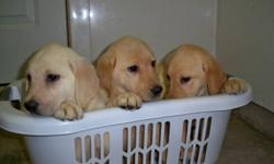 Only 1 female and 1 male left out of a litter of 5. These yellow Lab puppies have had their first shots, dewormed and come with their health records. These puppies are eager to meet their new family. Serious inquiries only.