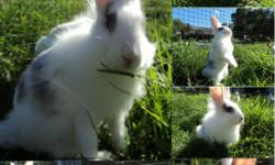 Hello! We have 2 lionhead bunnies that need new homes ASAP. Both are just over 3 months old (born June 17th). Both are males.