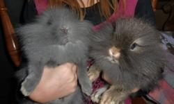 4 male lionhead rabbits and 1 female.2 of the males are double mane and 2 are single mane, the female is a single mane. Bunnies are 2 months old, good with children, they are my 9 year old daughters bunnies. they are healthy and well looked after. they