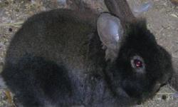 I currently have four lionhead and one Standard Rex cross bunnies for sale. The lionheads are 6 weeks old and the Standard Rex is 7 weeks old. I have one black/brown LH and two complete black LH. The bunnies are very healthy and fed an assortment of