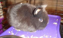 We have 3 little lionhead bunnies left for sale -  2 female and 1 male.  They are now 7 weeks old and ready for their new homes.  If your interested please call 519-825-4760.  They are very friendly and used to being handled.  We are asking $20.00 each.