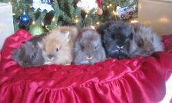 We have several tiny 5 week old lionhead bunnies ready to leave. All the bunnies are handled daily by small children. You can visit my website at Swan Rabbirty.com. You can call me at 5197274712 or email me