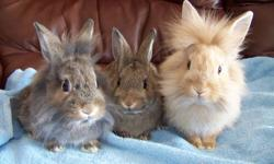 Adorable 8 week old lionhead bunnies for $30.00. Socialized with people and other pets.  Pictures to follow. Please call 705-752-4823.
