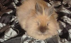 I have a cute lionhead bunny for sale. Thought Id have the time for it but I dont. Would make a cute x-mas gift for someone. Comes with a big white cage.