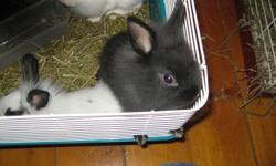 There is 4 baby bunnies they are 10 weeks old, 2 black and white with the hotot markings and 2 black babies, one with the shorter lop look and one with the lionhead look all have been handled since birth, some alittle more nervous then others but very