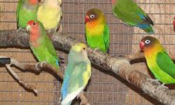 I HAVE MANY LOVEBIRDS IN MANY COLORS. MOST ARE FORMER BREEDERS - SELLING OUT ! BOTH FISCHERS AND PEACH FACE VARIETIES. STARTING AT $50 FOR COMMONS AND UP FOR FANCIER VARIETIES. COME CHOOSE THE ONE YOU LIKE AT NORTHERN PARADISE AVIARY HUNTSVILLE 705 789