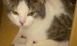 Breed: Domestic Short Hair - gray and white Tabby - Grey   Age: Young   Sex: M   Size: M Neutered, Vaccinated, DOB December 1, 2010. Jude is a very shy guy that loves to be close to his best feline friend Jewel. In fact he sleeps with him almost every