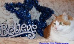Breed: Domestic Short Hair - orange and white Tabby - Orange   Age: Senior   Sex: M   Size: XL Neutered, Vaccinated, DOB August 2002. It is time to meet Maui, yes that's right - Maui, like the second largest of the Hawaiian Islands. His brother was