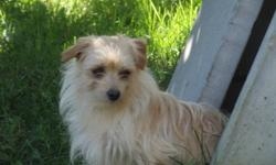Beautiful, playful male Morkie for sale. Soggy is fully house trained, crate trained and was raised with children and other dogs.  He loves to play, run walk and chew on his toys. If you are interested, please call 905-551-0689 or e-mail to setup an