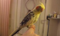 i have a very tame male pied cockatiel that loves to sit on your shoulder and fingers he has never biten me as of yet he is around 3 years old cage is very clean and is 18.5x18.5x25 no stand this is a cockatiel breeding cage door on the front and one on