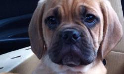 Male puggle puppy (beagle/pug). He is an amazing puppy that loves to play and loves attention. I absolutely adore this puppy but I have no time to spend with him. He deserves a good home and good owner and unfortunately I don't have time to be a good