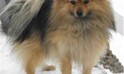 In Need of his New Home...PRICE REDUCED FOR CHRISTMAS!   Rebel is a 2 year Old,  Very Tame, Sweet, Shakes Paw. Male Purebred Pomeranian 8lbs. He Is Microchipped and Un-altured. All Shots are UTD ...   He was my aunts dog and I am rehoming him.   If you