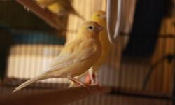 Lovely signing canaries ... females also available (1 only) $50 Contact for viewing...