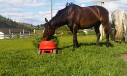 4 yr old Dark Bay Thoroughbred mare 16hh. For Sale $5000 Lots of potential cross ties/ties, trims, trailers, Free jumped over 3ft walk, trot, canter jumped 2'3 course placed 3rd in baby green u/s going to be a great horse great project horse. cant afford