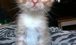 Meet Pumkyn! Hes 6 weeks old, and will be ready by November 5th. But I am willing to let him go November 1st.   HE IS: Eatting hard food Litter trained Good with baths   Hes an orange tabby, the most playful one. Unfortunately, hes the last one! As one of