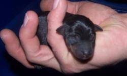 Tiny min pin pups.  Have been raised underfoot with children and cats.  dewormed, vaccinated, tails cropped,  nails trimmed, leash training started as well as house training.  Already paper trained.   Mom and dad on site.  Ears will stand naturally. Will