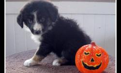 Mini Aussie puppy ready for his new home now! We have 3 Black Tri males and 4 black tri females available.  Puppy has his first & second set of shots and come with a full 3 yr genetic health garentee. Champion bloodlines and incredible temperments. Visit