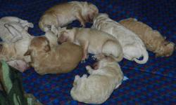 Mini Goldendoodle Puppies available to go home mid February. Mother is an F2B Petite Standard (38 lbs) Father is an F1 Mini Goldendoodle Both parents have excellent health records and great personalities. Puppies will average 35lbs.  Tan/beige. Curly,
