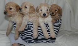 MINI GOLDENDOODLE PUPS 5 males and 2 females available to go home mid Feb.  Curly and wavy coats Low to Non shedding Good for people with allergies Puppies will have their dew claws removed, first shots, puppy package. Delivery of your pup can be arranged