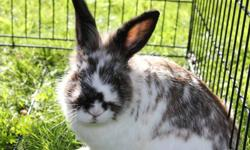 """Beautiful Mini Rex Bunny - named """"Bugs"""".  2 years old.  Fun, furry, cuddly and would be a great pet for young child.  He walks on a leash.  Comes with everything.....cage, food, leash, etc.   Moving - can't keep him."""
