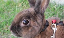 This adorable rabbit named Carotte a 4years old female. I had her since she was a baby, shes litter train, has a good temper, good with kid and love being outside on a leash. For those interested;comes with a large cage, water bottle, food,