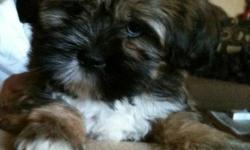 Our Schnau-Tzu pups are a mixed breed between a Miniature Schnauzer and a Shih Tzu. What you get is a great non-shedding small dog with the wonderful traits of two great dogs. Pups should mature to about 12 lbs. Pups are well socialized and they are pee