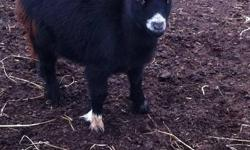 2 Adorable Miniature Pygmy Twin Goats. 1 very small black female and 1 neutered gray male. Fun to have around and watch play. Born April 2011. Very tame. Make good pets or as an addition to your hobby farm. $450.00 If interested in buying both of the