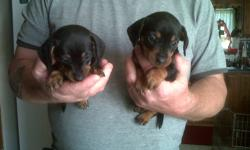 2 female black and tan mini Dachshund pups. $500.00 Ready to go nov 22nd/2011, . also de-wormed. If interested call   ( 613) 345-2765