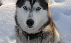 3 year old husky female missing since Nov. 12. Grey, white and black with blue eyes. She is capable of traveling extremely long distances. If you have seen her or know of someone who has her, please contact me. Reward offered. She is dearly missed!