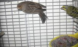 Mix couples for sale {P{green finch Male + canary female }} only $70.00 per couple please call 416-201-6988