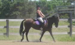 Hi I am very sadly selling my morgan quarter horse. She is 10 years old. She would need an advanced rider as she has a strong spirit. I have been training her in dressage for the past year. She is a very quick learner i have showen her training level and