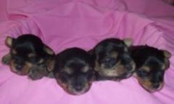 ???? MORKIES ????   BORN DEC. 16 2011   FOUR GIRLS  (two sold)     AVAILABLE  Early February     $500   Vet checked, first shots, dewormed   Come pick one out  to join your family   1 YEAR HEALTH GUARANTEE