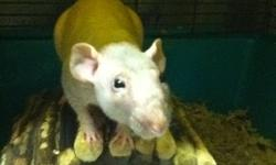 I have a male naked rat named Peanuts - I have to rehome all of my rats due to my mom was recently disgnosed with Cronic Lung Disease.   He comes with everything! - Asking: $40.00   Located in Bradford, Ontario Will need to be picked up, can arrange a