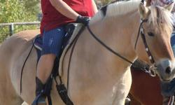ONE OF A KIND-14.2 hh 1050 lbs drafty type, not overweight. Used to trail riding-sound no vices-not spooky-needs shoes on fronts only-can be stubborn so should have a confident rider-ridden regularly-I need a gaited horse now-has been to one horse show