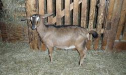 I have for sale 2 doeling a brown one witch is the first picture and a black and brown one witch is the last picture.Also have 3 yearlings and they are all bred, 2 of them are beige with light spots and the third one is black with whites on her wich is