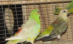 ONE PAIR OF OPALINE RED RUMPS NOW AVAILABLE. BONDED BUT NOT PROVEN. 3 - 4 YRS. NOT HAND TAMED. GOOD HEALTH GOOD FEATHER. SOLD AS PAIR / BIRDS ONLY - $ 500 PR COME SEE THEM AT NORTHERN PARADISE AVIARY IN HUNTSVILLE 705 789 7872