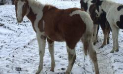 hi there, i have 1 paint stud colt for sale. He was born on April 29th 2011. The mother is on pciture 2 and the father is on picture 3. The colt was born in the field, has not been handleded. Delivery is available at your cost.   Thank you