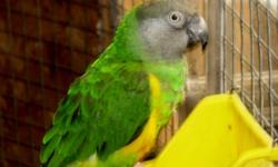 scaling down in my breeds of parrots that I keep. One pair of orange vested senegal parrots, 5 - 6 yrs old - tame ( not bonded ) $1000 as breeding pair or $600 each. good health, good feather, talk a little. Can be seen at Northern Paradise Aviary near
