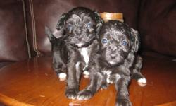 I have 3 girls 2 boys they are 4 weeks old and will have there first vaccination,dewomed and dew claws removed. They will grow to be about 5-7 pounds.  The mother is a pure bred papiollon and the father is a pure bred4 pound poodle. For more info plz call