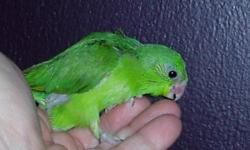 7 Viable pairs of Parrotlets. All (except one baby I kept) are unrelated. All Proven. Blues, Normals, Yellows,, Fallows. Reducing the number of birds I am keeping. Would like to sell as a lot, but if no interest then I will start selling pairs.