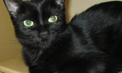 """Unfortunately one of Action Volunteers for Animals' very young cats was recently diagnosed with Feline Leukemia.  Onyx had once been returned by an adopter with the excuse that she was just """"too active"""".  Currently with our overcrowded foster home"""