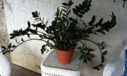 Beautiful, large, healthy ZZ Plant has glossy green leaves. Prefers medium light but will grow in full sun or low light. Asking $ 10.00