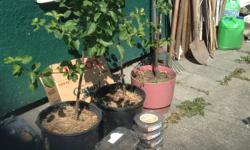 Olden plam tree $20 . Gojiberry $10 . Strawberry $5 .