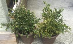 box wood plants with pots, 20 each or $35 for both, or best offer.