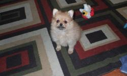 Pup is out of sable red pomeranian and should be very small..Mom and dad are here to see..Comes with first shots and deworming and a good vet certificate of health...including pics of mom and dad..can be reached here or phone 1 705 647 7274 or 679 3460