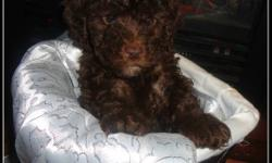 Last lonely pup available from a litter of 4.  He is a chocolate brown toy poodle pup, he has been vaccinated, dewormed and vet checked. He's been fed a high quality all natural food and he's a very happy, well socialized and of course adorable little