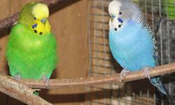 I HAVE SEVERAL COLORS OF AMERICAN BUDGIES IN BOTH SEXES TO SELL - ONLY $10 EACH - SOME CAGES AVAILABLE FOR $25 EXTRA. COME CHOOSE YOURS - NORTHERN PARADISE AVIARY IN HUNTSVILLE 705 789 7872