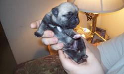 PUG PUPS.3 MALES,2 FEMALES,READY TO GO JANUARY 5,2012