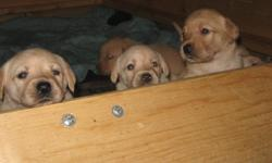 We have 10 of the cutest Lab X puppies for Sale!   5 males & 5 females will be 7 weeks old at Christmas time   Both parents are Lab X and are on site   Please email if interested to reserve your puppy